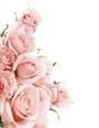 rozen_rose.jpg