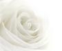 witte_roos.jpg